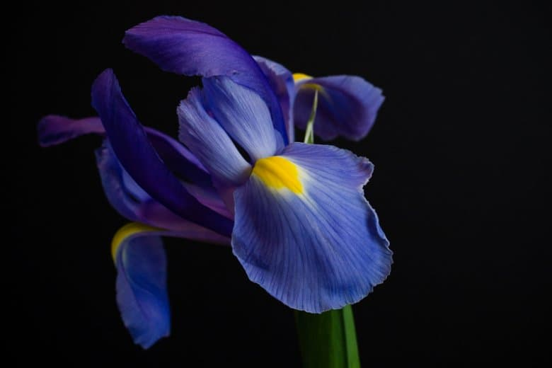 photo of a purple Iris