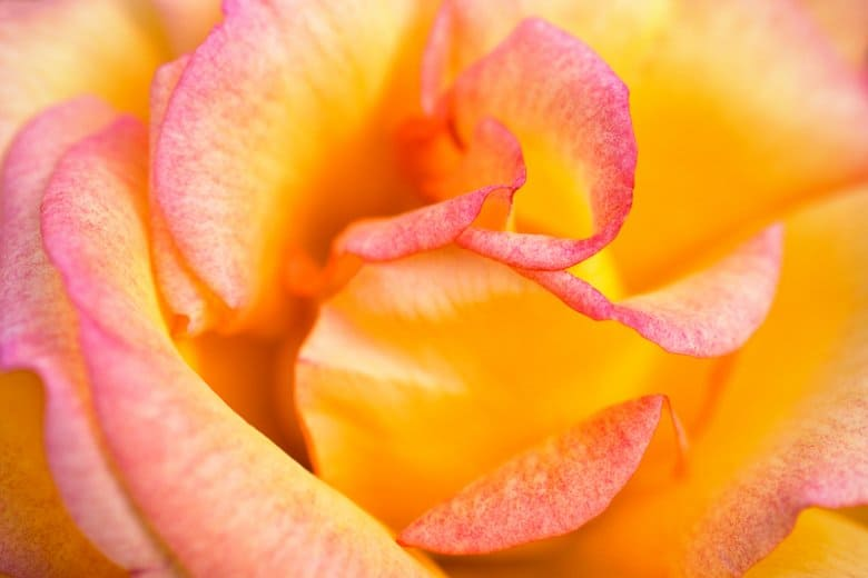 abstract photo of an orange rose