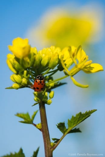 lady bug mustard flower